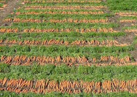 Amsterdam baby carrot varieties