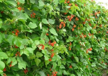 red flowering runnerbeans